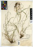 Holotype of Poa marcida Hitchcock, A.S. 1928 [family POACEAE]