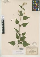 Isotype of Eupatorium hymenolepis Robinson, B.L. 1907 [family ASTERACEAE]
