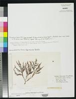 Isotype of Laurencia heteroclada Harvey, W.H. 1855. [family RHODOMELACEAE]
