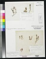 Isotype of Erythrotrichia californica Kylin, H. 1941. [family BANGIACEAE]
