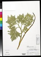 Isotype of Botrychium socorrense Wagner, W. 1989 [family OPHIOGLOSSACEAE]