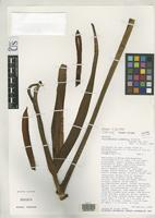 Isotype of Philodendron cremersii Croat, T.B. & Grayum, M.H. 1994 [family ARACEAE]