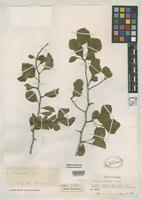 Isotype of Crataegus tisdalei Murrill, W.A. 1942 [family ROSACEAE]