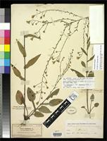 Lectotype of Aster proteus Burgess, E.S. 1903 [family ASTERACEAE]