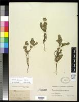 Filed as Paronychia franciscana Eastwood, A. 1901 [family CARYOPHYLLACEAE]