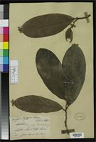 Filed as Magnolia pealiana King, G. 1891 [family MAGNOLIACEAE]