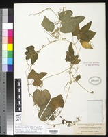 Holotype of Schizocarpum guatemalense Donnell Smith, J. 1895 [family CUCURBITACEAE]