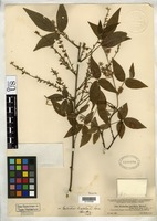 Isotype of Periandra parviflora Micheli, M. 1894 [family FABACEAE]