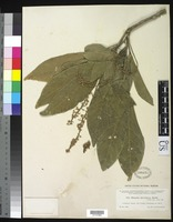 Isosyntype of Matayba clavelligera Moore, S. L. M. 1911Radlkofer, L. A. 1902 [family SAPINDACEAE]