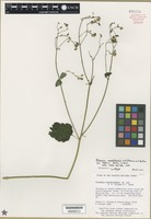 Isotype of Polymnia cossatotensis A.B. Pittman & V. Bates [family ASTERACEAE]