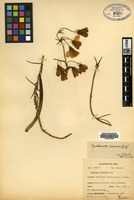 Isotype of Gentiana lilacina Gilg [family GENTIANACEAE]