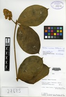 Isotype of Prestonia racemosa J. F. Morales [family APOCYNACEAE]