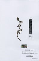 Holotype of Ophrys x castroviejoi Serra & J.X. Soler [family ORCHIDACEAE]