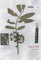 Paratype of Guatteria pannosa Scharf & Maas [family ANNONACEAE]