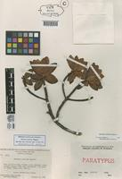 Paratype of Bonnetia neblinae Maguire [family THEACEAE]