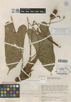 Holotype of Anthurium barrieri Croat, Scherberich & Ferry [family ARACEAE]