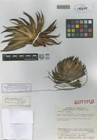 Isotype of Lindmania huberi L. B. Smith, Steyerm. & Robinson [family BROMELIACEAE]