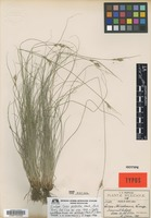 Isotype of Carex perstricta Mack. [family CYPERACEAE]