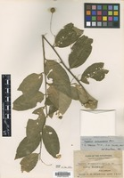 Isotype of Capparis palawanensis Merr. [family CAPPARACEAE]
