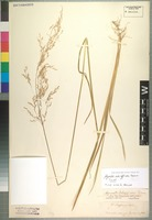 Type of Agrostis schaffneri E. Fourn. [family POACEAE]