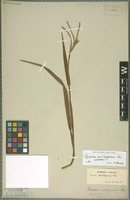Isotype of Paspalum cartilagineum J. Presl [family POACEAE]