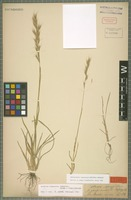 Type of Helictotrichon compressum (Heuff.) Henrard [family POACEAE]