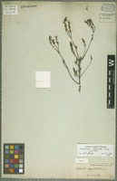 Holotype of Verticordia chrysantha Endl. [family MYRTACEAE]