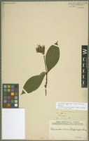 Holotype of Palicourea virens (Poepp.) Standl. [family RUBIACEAE]