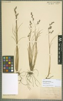 Isotype of Festuca multiculmis Steud. [family POACEAE]