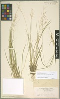 Isolectotype of Dichanthelium linearifolium (Scribn.) Gould [family POACEAE]