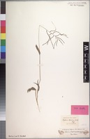 Type? of Digitaria abyssinica (Hochst. ex A. Rich.) Stapf [family POACEAE]