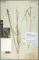Syntype of Andropogon gyrans Ashe variety stenophyllus (Hack.) C. S. Campbell [family POACEAE]