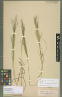 Isotype of Agrostis lechleri Steud. [family POACEAE]