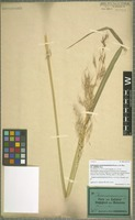 Isotype of Andropogon purpureosericeus Hochst. ex A. Rich. variety pallidior Hack. [family POACEAE]