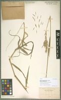 Isotype of Bromus maritimus (Piper) Hitchc. [family POACEAE]