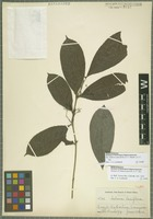 Isotype of Salacia gracilis A. C. Sm. [family CELASTRACEAE]