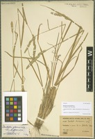 Isotype of Dactylis glomerata L. subspecies woronowii (Ovcz.) Stebbins & D. Zohary [family POACEAE]