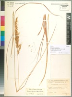 Holotype of Trichopteryx cuspidata Gilli [family POACEAE]