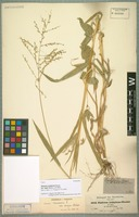 Type of Panicum nudiglume Hochst. variety major Hochst. ex A. Rich. [family POACEAE]