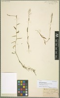 Isotype of Isachne geniculata Griff. [family POACEAE]