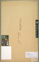 Original material of Catabrosa latifolia Phil. [family POACEAE]