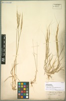 Syntype of Aegilops caudata L. subspecies polyathera (Boiss.) Zhuk. [family POACEAE]