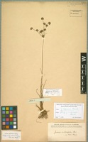 Isotype of Juncus indescriptus Steud. [family JUNCACEAE]