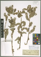 Isolectotype of Salix zygostemon Boiss. & Hohen. [family SALICACEAE]