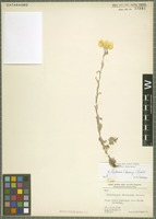 Type of Helichrysum fieldianum Rech. f. [family ASTERACEAE]