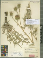Holotype of Cousinia strictissima Rech. f. [family ASTERACEAE]
