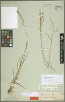 Isolectotype of Dichelachne vulgaris Trin. & Rupr. [family POACEAE]