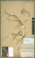 Isotype of Cynodon leptochloides Steud. [family POACEAE]