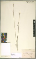 Type of Panicum anceps Michx. variety strictum Chapm. [family POACEAE]