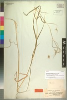 Syntype of Hyparrhenia papillipes (Hochst. ex A. Rich.) Andersson ex Stapf [family POACEAE]